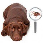 Собака и клещи: как уберечь от клещей домашних любимцев