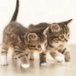 Как нужно делать прививки кошкам